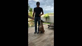 Boxer Dog breed Obedience & Training 2,6 Years Old