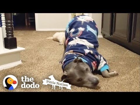 This Pittie's the Cutest, Biggest Baby Ever | The Dodo Pittie Nation