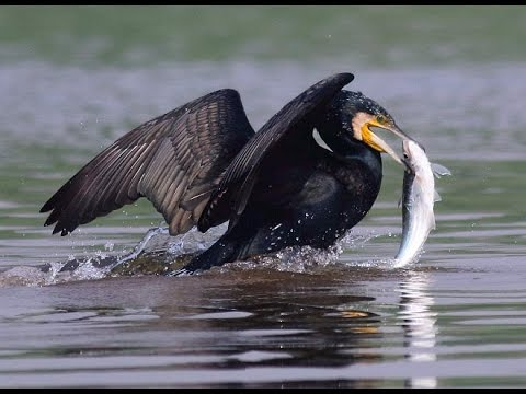 Indian cormorant fishing in group