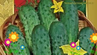 Огурец сортовой Серпантин. Краткий обзор, описание характеристик, где купить семена Serpantin