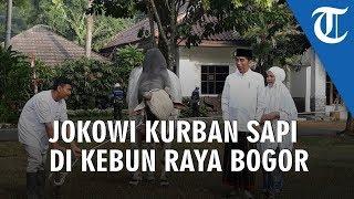 Presiden Jokowi Kurban Sapi Ongole 1 Ton di Kebun Raya Bogor