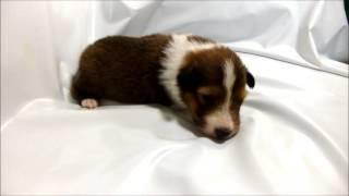 シェットランド・シープドッグ専門店 http://aidol-doggy.com/sixerutxi...