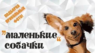 """Самые """"маленькие"""" собаки. Смешные фото с """"маленькими"""" породами собак!)))"""