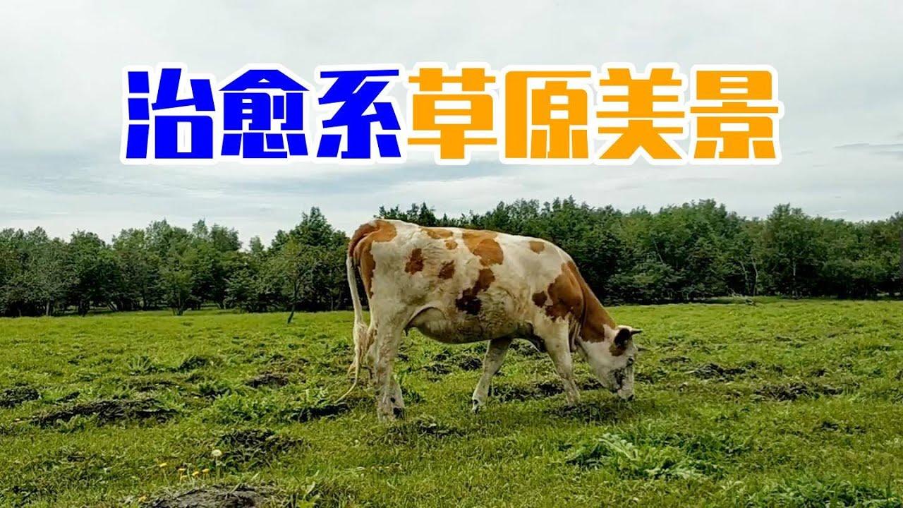 精心制作的治愈系草原美景,都是因为有牛牛 | 新视野号出发