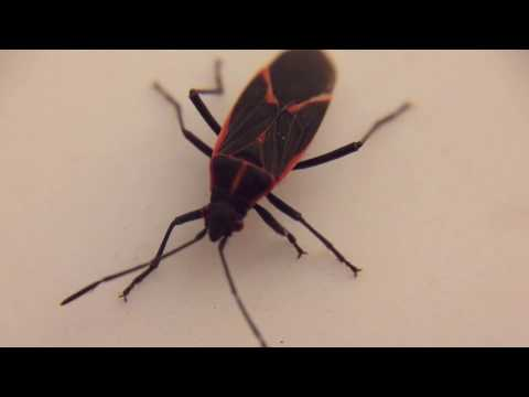 Essential Oil Impacts on Boisea trivittata (Box Elder Bug)