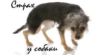 Страх у собаки. Что делать когда собака напугана / What if your dog is scared