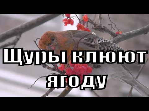 Щуры на дереве клюют ягоду.Птицы Сибири.