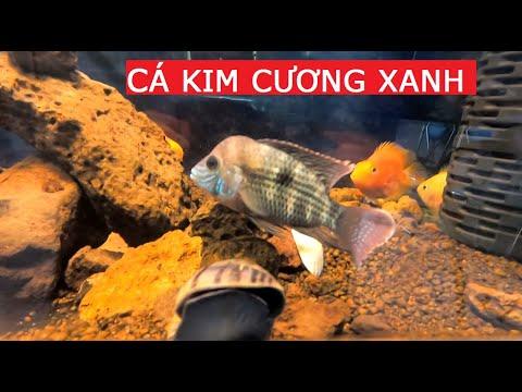 Thử nuôi cá kim cương xanh chung cá hồng két cộng đồng | Trường Phạm