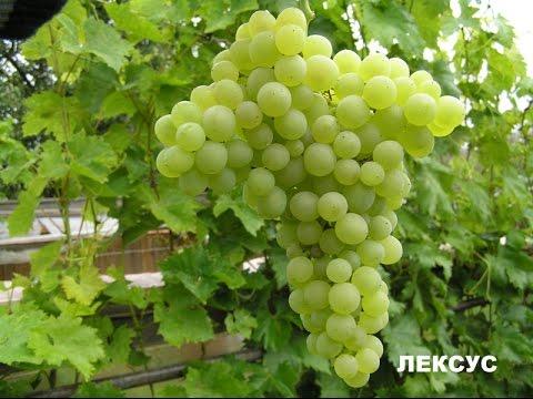 сорта и гф винограда