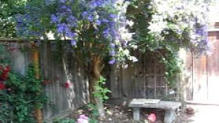 Backyard curiosity - What is that blue flower tree?
