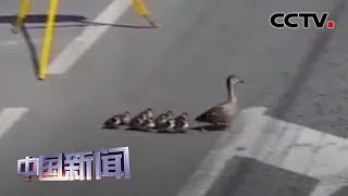 [中国新闻] 截断车流 俄警察护送鸭子过马路   CCTV中文国际