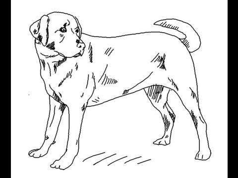 how to draw labrador retriever dog line art