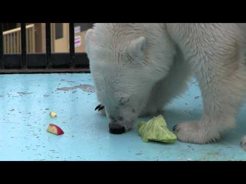 アイラの食事タイム~Polar Bear eats in search of food