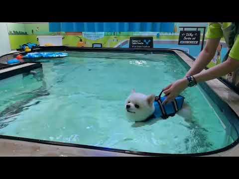 【Pet's Swimming Pool】Cody ❤❤ #Pomeranian