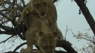 Lions fight over a bushbuck kill.