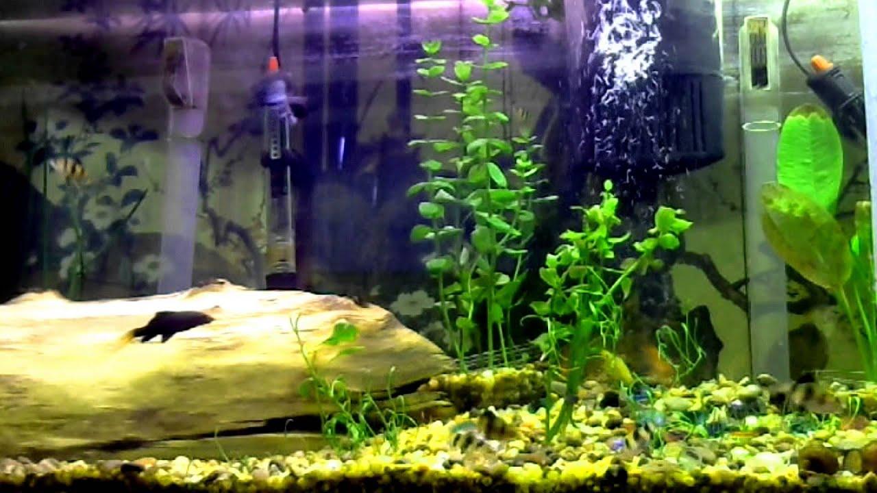 Fish tank multiple male betta community tank youtube for Multiple betta fish tank