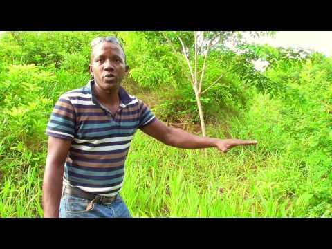 Brachiaria, plante de service polyvalente à Mayotte, 1'16