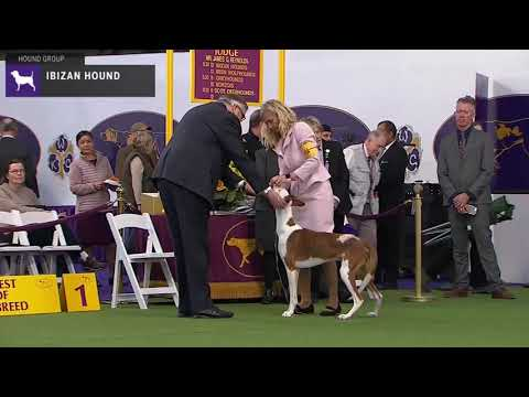 Ibizan Hounds | Breed Judging 2020