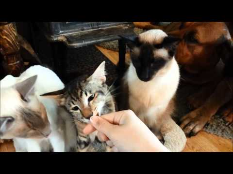 Boerboels, Balinese and Oriental Longhair cats gets treats.