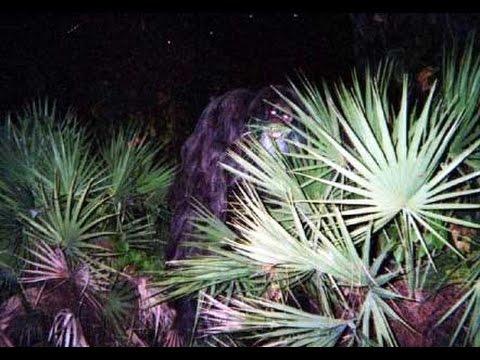 Myakka Skunk Ape Photos