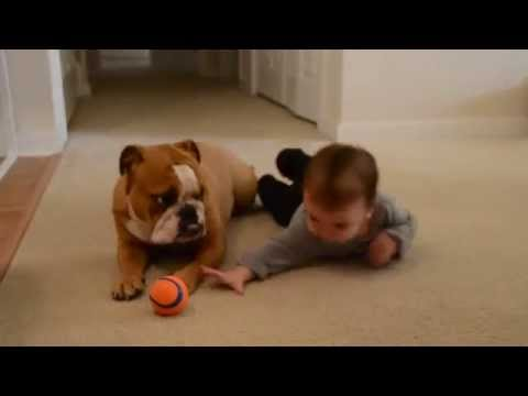 Baby and English bulldog - Baby steals toy from dog