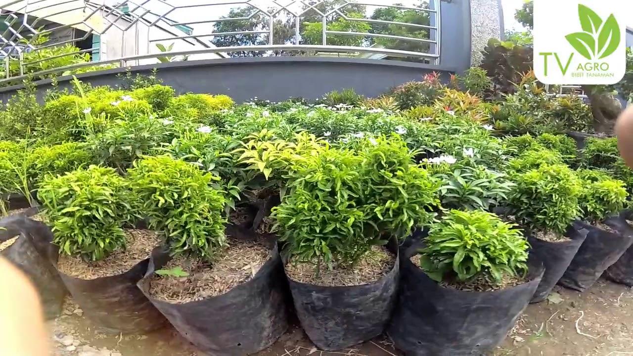 Jual Bibit Bunga Rombusa Mini Stek 15 Cm Kab Nganjuk Agro Tanaman Tokopedia