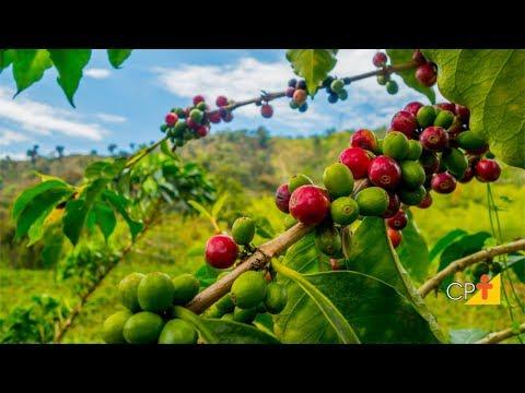 Clique e veja o vídeo Curso Café - Cultivo Superadensado