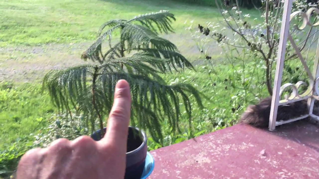 How To Care For A Norfolk Pine Indoor Christmas Tree And Are They Dangerous Spidar Plant Norfolk Pine House on