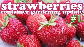 Planting Strawberry Plants In Hanging Planter Container Gardening- Growing Strawberries Plant Update