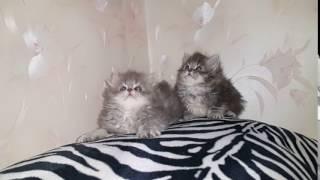 Котята персы