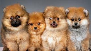 10 лучших видео - Померанский шпиц 10. Funniest Pomeranian Videos(Самые крутые, веселые и прикольные Померанский шпиц https://youtu.be/jnj_vh9vtRc Смотрим, смеемся, улыбаемся, ржем., 2015-03-26T08:43:34.000Z)