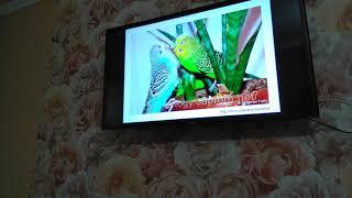 Попугай Тоша чирикает под чириканье других попугаев на телевизоре