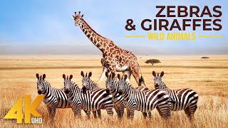 4K African Animals - Zebras and Giraffes - Amazing African Wildlife Footage - Kalahari Desert