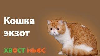 Экзот (экзотическая короткошерстная) кошка
