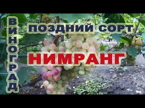 🍇 Виноград Нимранг - поздний сорт.Обзор