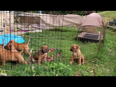 AKC Staffordshire Bull Terrier Puppies at play 7 weeks