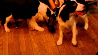 母犬以外の成犬に囲まれすっかり固まってしまったスプパピー^^; お姉...