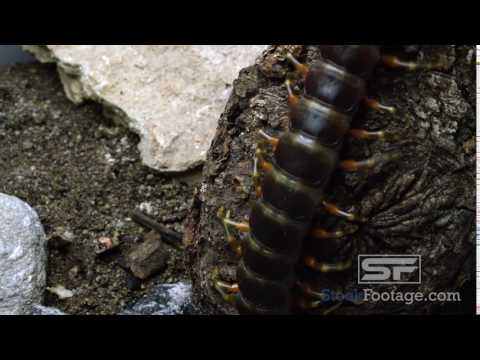 Tight shot of a Peruvian Giant Centipede crawling on some tree bark
