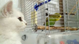 Дружба кошки и волнистого попугая Ромы.