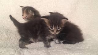 Котята Мейн-кун на продажу