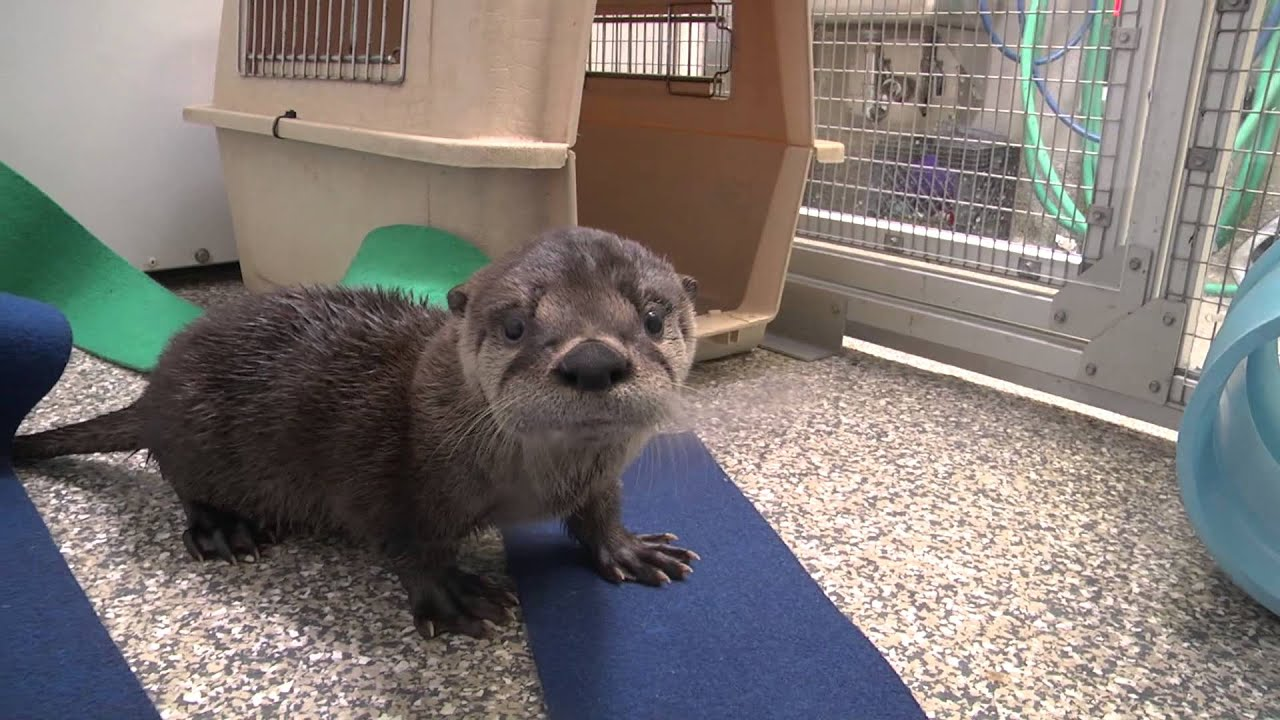 Rescued river otter pup - YouTube