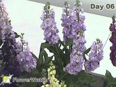 Matthiola (stock) Katz Light Lavender vase life
