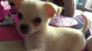 Lilly Rose chihuahua - S'installe 2