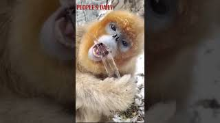 Today's #ASMR eating will be hosted by this golden snub-nosed monkey who is chewing ice