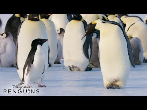 Disneynature Penguins | In Theatres April 17
