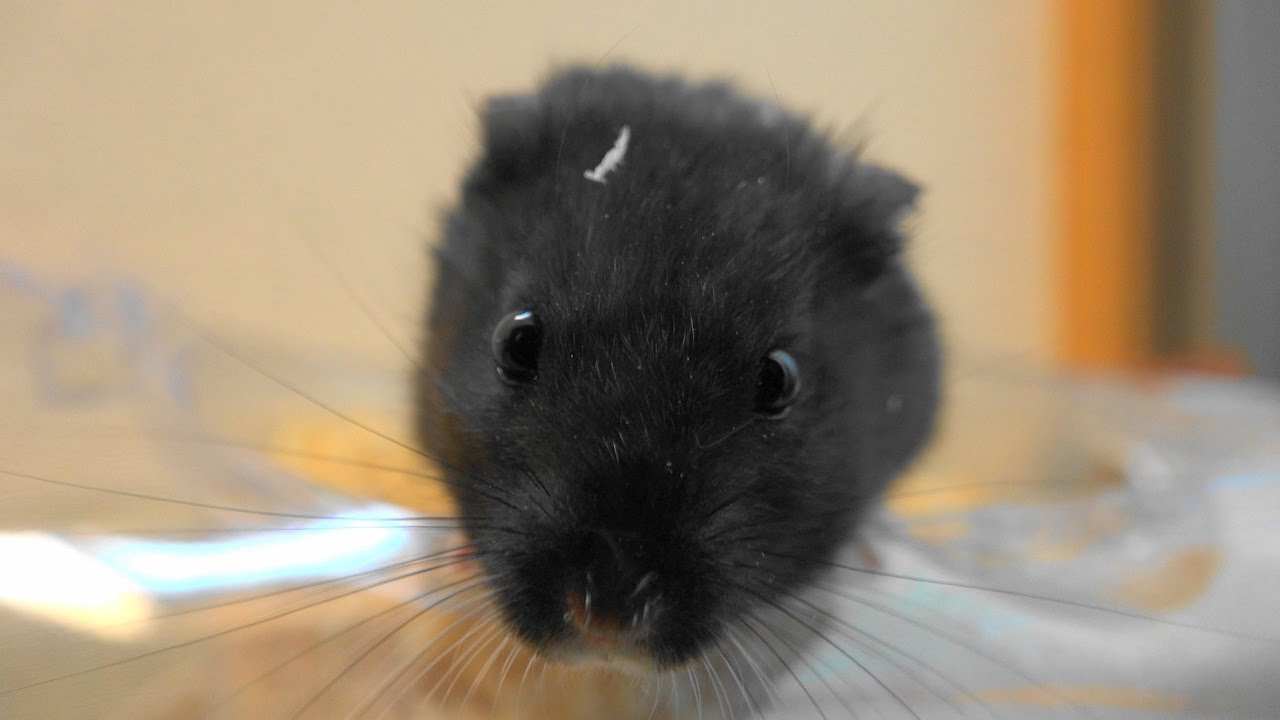 Ebony hamster