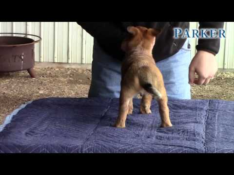 Parker-AKC Working Australian Cattle Dog Puppy