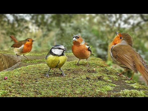 Thumbnail: Videos for Cats to Watch : Birds and Bird Sounds on The Round Wall