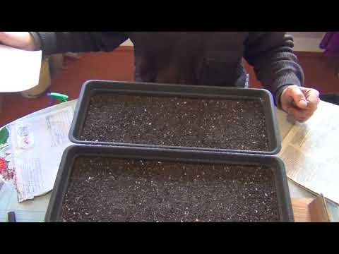 Посев семян табака 16 февраля, сезон 2020