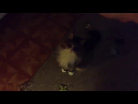 Siberian Forest Cat Doing Tricks